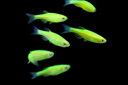 thumbs_glofish-electric-green-danios